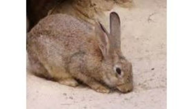 Wild rabbit in northeast Colorado Springs tests positive for tularemia