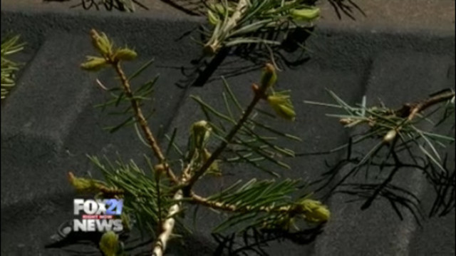City set to begin Western Spruce Budworm aerial treatment plan starting June 5