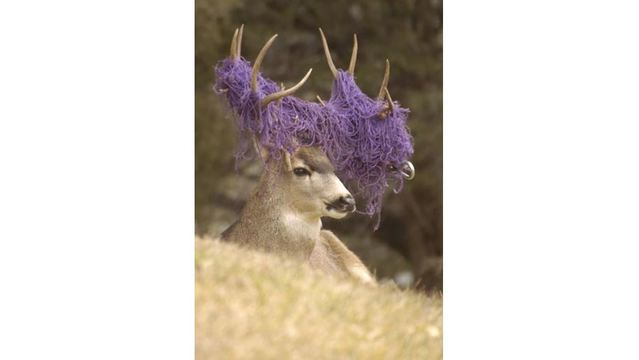 CPW reminding residents to take precautions as deer mating season is underway